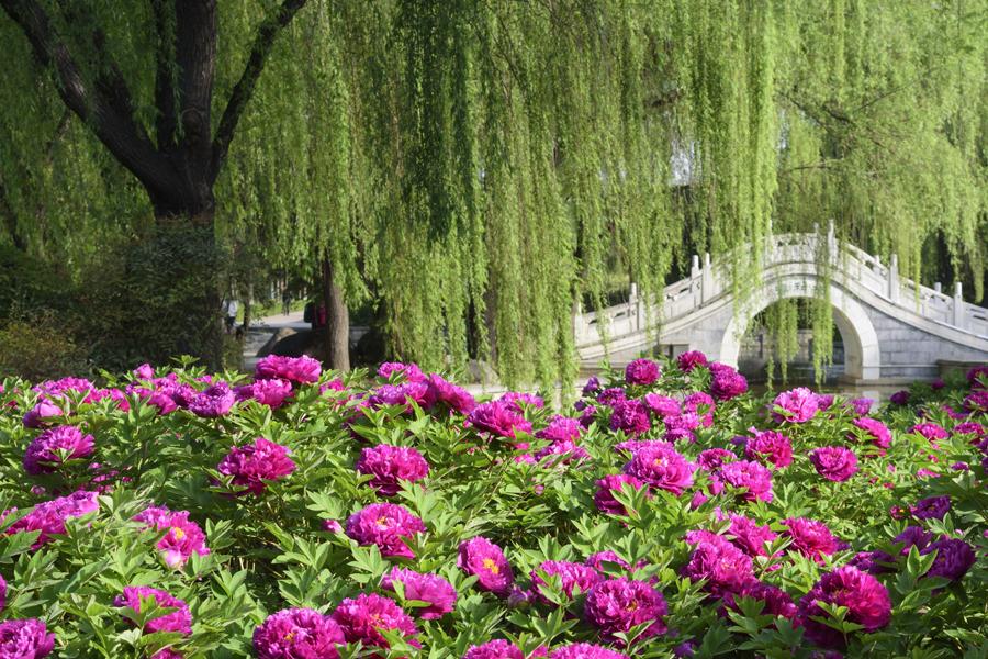 Jardim de Peônias